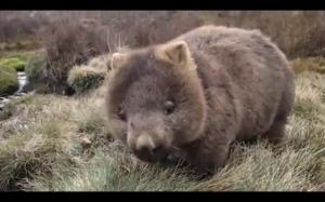 Przyjazny wombat