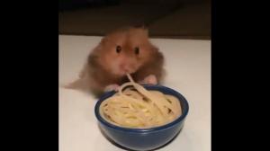 Chomik wcina spaghetti