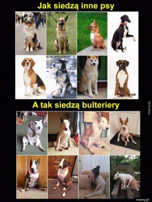 Są psy i bulteriery