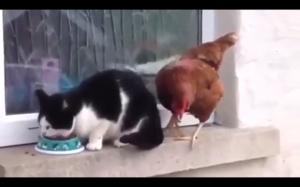 Niedobry kurczak!