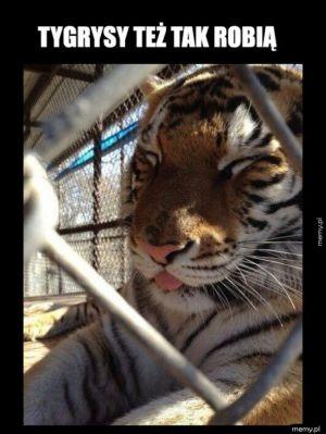 Piękny tygrys