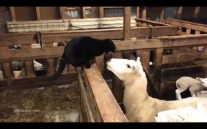 Kot vs owca