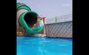 Corgi na basenie
