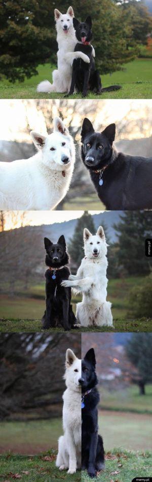 Yin yang - psi przyjaciele
