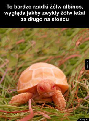 Rzadki żółw