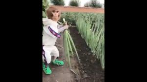 Kamil dogląda zbiorów cebuli