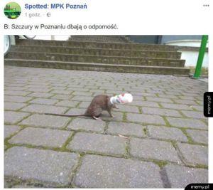 Szczury w poznaniu