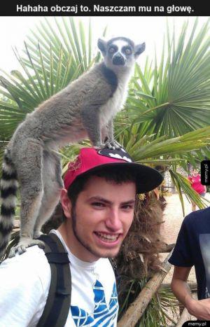 Lemur śmieszek