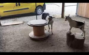 Kozy też lubią karuzelę