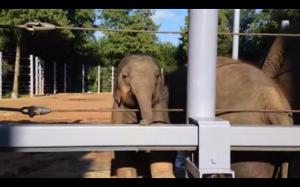 Słonik chciał lepiej widzieć ludzi w zoo:)