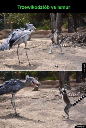 Trzewikodziób vs lemur