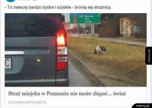 Sprytna świnka
