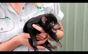Mały diabeł tasmański