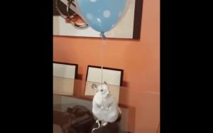Nigdy nie ufaj szynszyli, która trzyma balon.