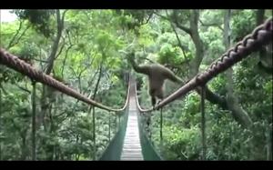 Gibon przechodzi przez most