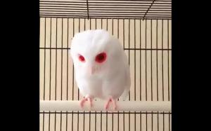 Sowa albinos