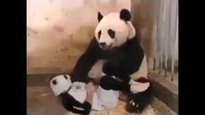 Zdziwona panda