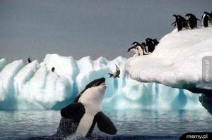 Zdjęcie przedstawia rytuał składania ofiary przez pingwiny