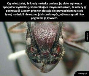 Mrówka ty chory skurczybyku