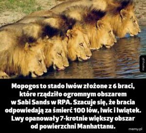Stado lwów