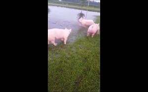 Świnki bawią się w wodzie