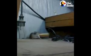 Zdeterminowana mysz próbuje ukraść krakersa