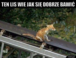 Rozrywkowy lis