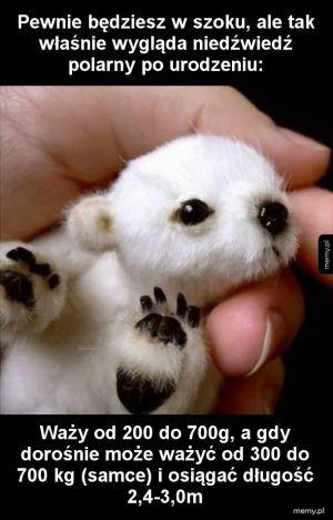 Niedźwiedź polarny po urodzeniu