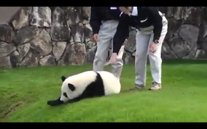 Wielka ucieczka pandy