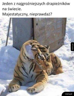 Majestatyczny tygrys