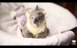 Mały miś koala