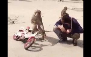 Małpa na głodzie nikotynowym