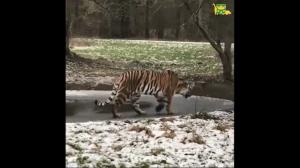 Tygrys vs cienki lód