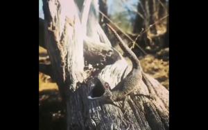 Jaszczurka strzelająca jadem z ogona