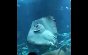 Płaszczka zjada rybę