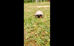 Wściekły żółw
