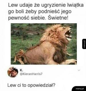 Lew udaje, że ugryzienie lwiątka go boli