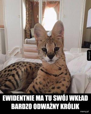 Kicający kot kuguar czy coś
