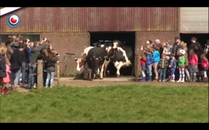Reakcja krów po spędzeniu 6 miesięcy w zamknięciu