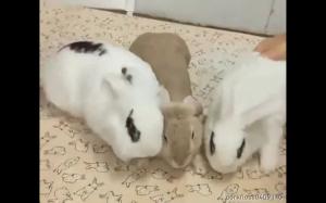 Magnetyczne króliki