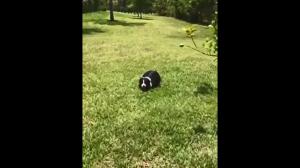 Pies robi pranka