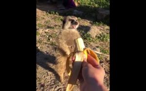 Dziękuje, nigdy więcej bananów