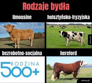 Rodzaje bydła