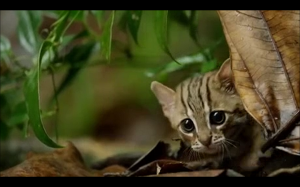 Kot rdzawy - najmniejszy dziki kot