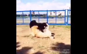 Pies ninja