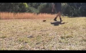 Diabełek tasmański