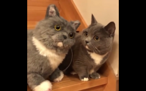 Kot i jego bliźniak