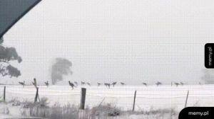 Niecodzienny obrazek: kangury w australijskim śniegu