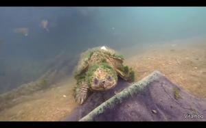 Naprawdę stary żółw