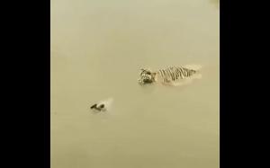 Z perspektywy tygrysa